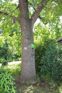 Stieleiche, @Quercus_Veitshöchheim | Baytreenet, FAU