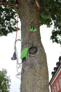 Traubeneiche, @Quercus_Wunsiedel | Baytreenet, FAU
