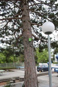 Waldkiefer, @Pinus_Burglengenfeld | Baytreenet, FAU